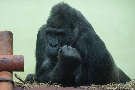 one big black gorilla monkey sits and looks in the aviary on a green background