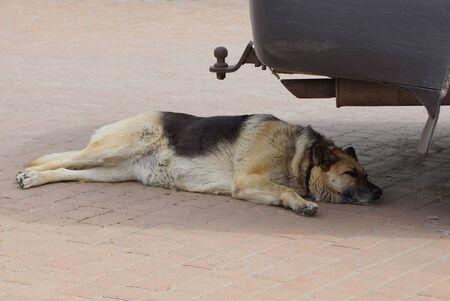one big dog lies and sleeps on a brown sidewalk under a black bumper of a car on the street