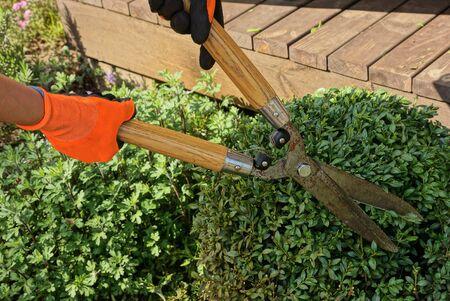 hands of a gardener in orange gloves hold big pruner shears over a green bush of a plant in the garden Standard-Bild