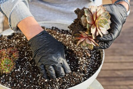 hands of a gardener in black gloves plants decorative small colored plants in the ground in a pot