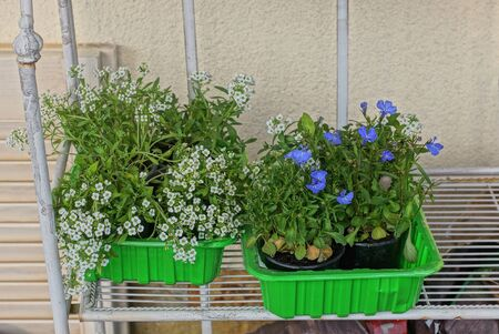 flowerpots in two green plastic boxes with decorative plants and white blue flowers stand on a shelf against a brown wall Standard-Bild - 146656971