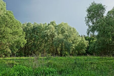 part of a summer park of green deciduous trees and tall grass in a meadow against a gray sky Standard-Bild