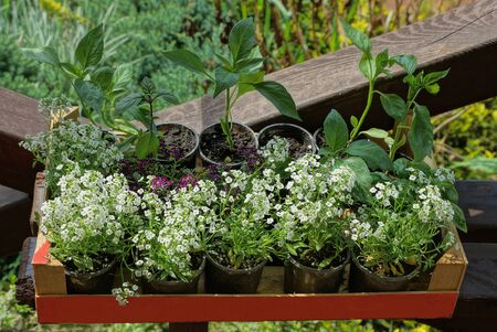row of small flowerpots in a red box with green ornamental plants and white flowers Standard-Bild - 146657106