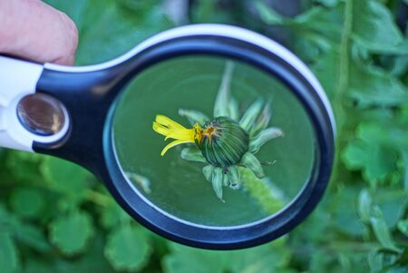 one black magnifier increases the bud of a small dandelion flower in green grass