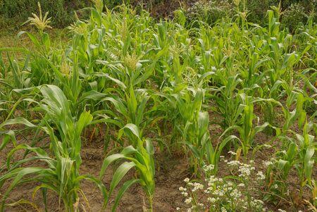 row of green corn plants in brown earth in a field on a farm