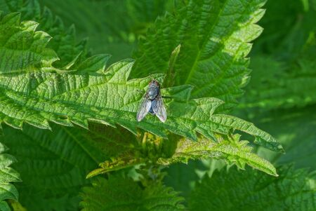 one small gray fly sits on a green leaf of a nettle plant in nature Zdjęcie Seryjne