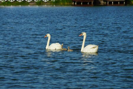 a family of two large white swans and gray chicks swim in the blue water of a pond
