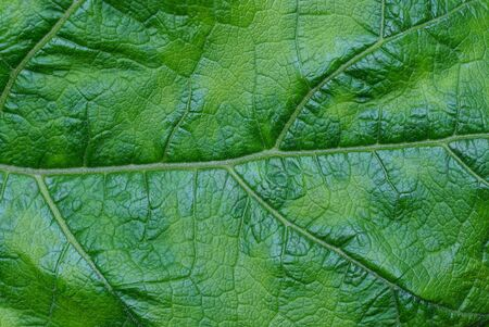 green vegetative texture from a piece of a large leaf on burdock Standard-Bild