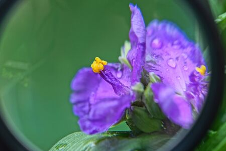 black magnifier magnifies a blue yellow flower with dew drops on a green background