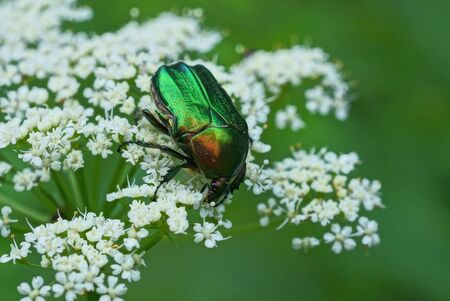 one big green bug collect pollen on a white flower on nature in a summer park
