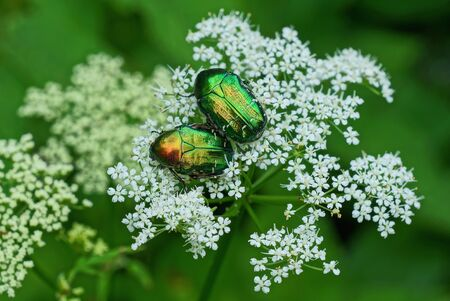 two large green beetles collect pollen on a white flower on nature in a summer park Standard-Bild