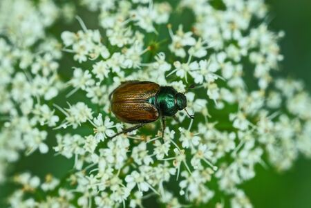 one brown chafer beetle sits on a white flower of a wild plant in nature