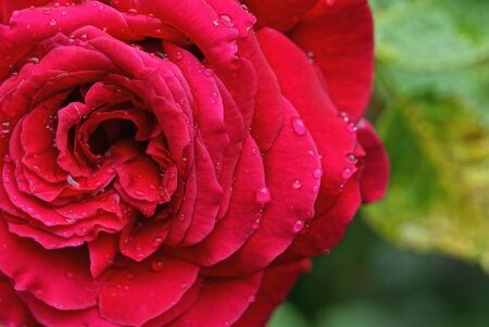one large bud of a blooming red rose flower in drops of water