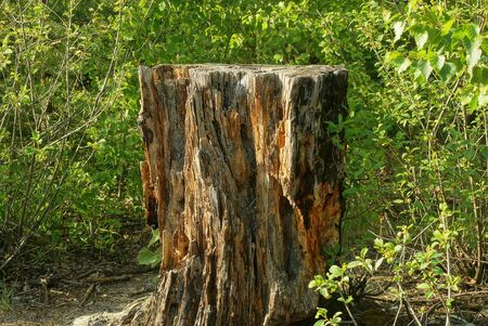 one big brown stump of an old tree stands in green grass and vegetation in nature in the forest