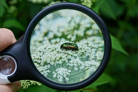 black magnifier in hand magnifies a bug on a white flower on a green background in nature