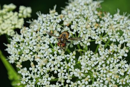 one brown little fly on a white wild flower on a green background in a summer park