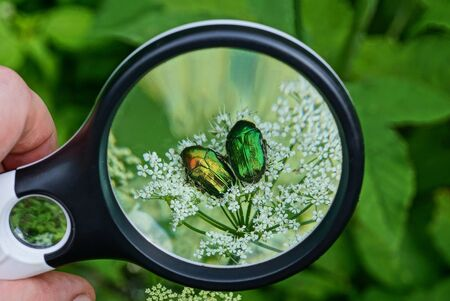 black magnifier in hand magnifies a two colored beetles on a white flower on a green background in nature Standard-Bild