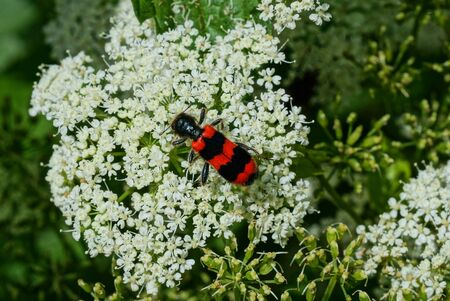 red black beetle on a white flower in nature on a sunny day Standard-Bild