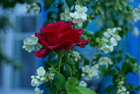 one large red rose flower among green jasmine branches with small white flowers in a summer garden on a blue background