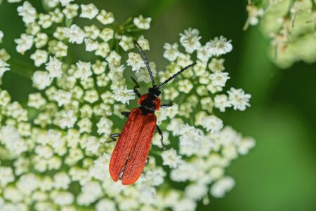 one red beetle sits on a white flower of a wild plant in nature