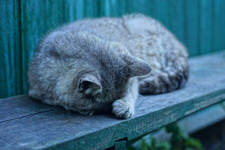 one gray cat lies and sleeps on a wooden board against a green wall