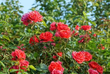 many red roses flowers on a bush with green leaves in a summer garden