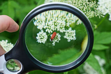 black magnifier in hand magnifies one red beetle on a white flower of a plant on a green background