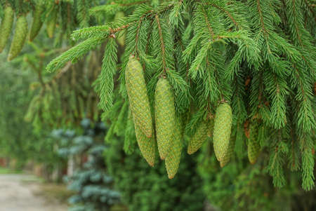 green long cones on coniferous tree branches spruce in nature in the park