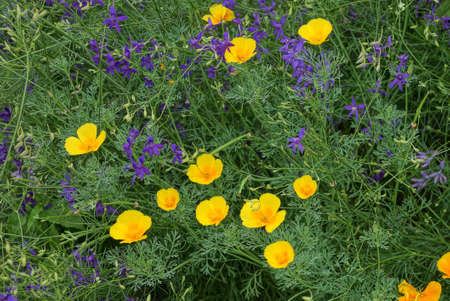 natural floral texture of yellow and blue flowers in green grass
