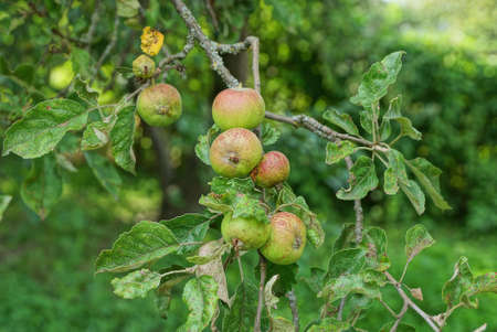 a lot of green red apples on a tree branch in a summer garden