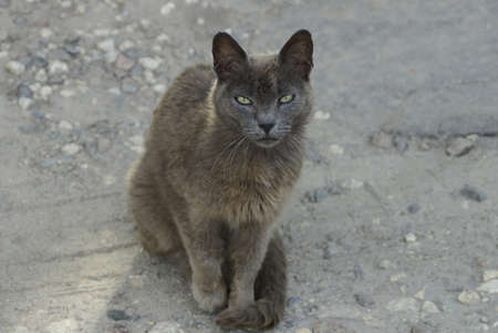 one big gray stray cat sits and looks on the sand outside 写真素材