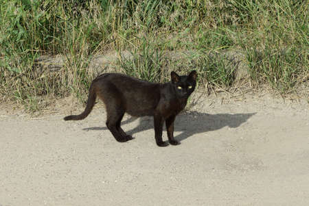one black cat stands and looks at the gray sand of the road by the green grass on the street 写真素材
