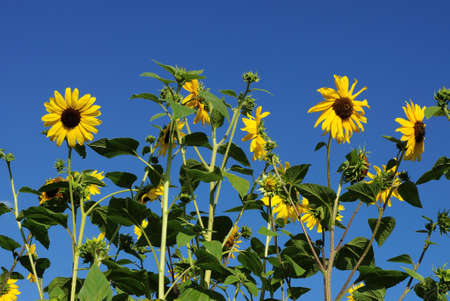 a row of yellow sunflower flowers on green stems and leaves in a field against a blue sky