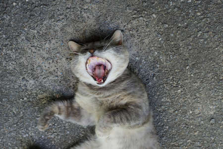 one big gray cat lies and yawns on the asphalt outside