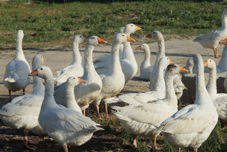 a flock of many white geese are standing on gray ground and in green grass outside on a farm Stockfoto
