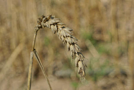 one gray brown dry spike of wheat in an autumn field Stockfoto