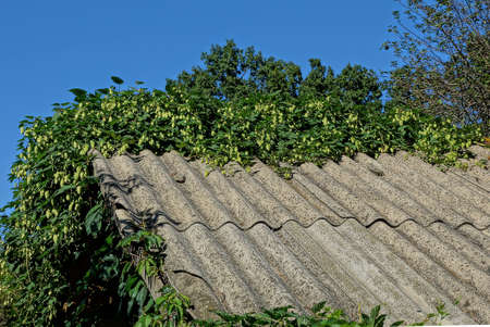 part of the gray slate roof of an old house overgrown with green vegetation with wild hops against a blue sky Zdjęcie Seryjne