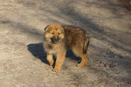 one brown fluffy puppy dog stands on the gray ground of the road in the street