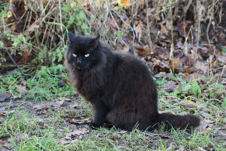 one black big fluffy cat sits and looks on the gray ground and in the green grass in the park Stockfoto - 163356799