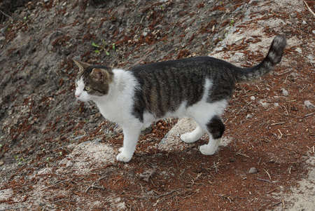 one large spotted cat stands on a road of gray sand and brown earth on the street Standard-Bild