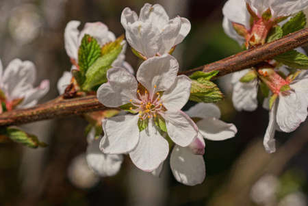 many small white flowers on a brown cherry branch in a spring garden on a gray background Standard-Bild