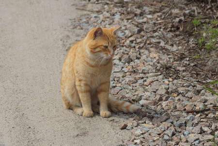 one ginger beautiful cat sits on a gray asphalt road on the street