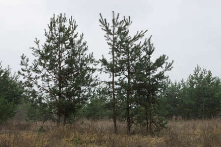 small green pine trees in dry grass in the forest against a gray sky