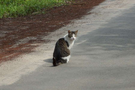 one big spotted cat sits on the gray asphalt road on the street