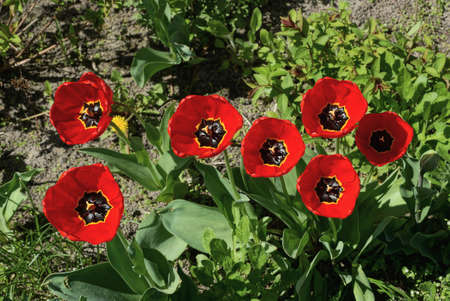 many large red blooming tulip flowers in green vegetation in a spring garden Standard-Bild