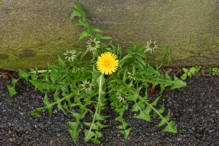 yellow dandelion flower among green castings on the asphalt near a gray concrete wall