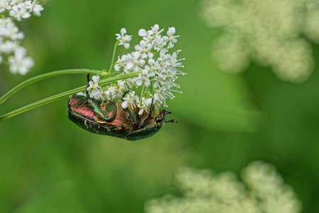 Green beautiful big beetle sits on a white flower in a summer garden