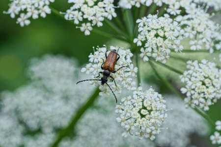 one brown small beetle sits on a white flower of a wild plant in nature