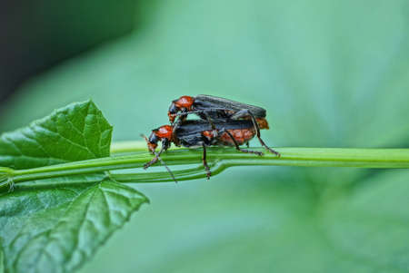 two big black red beetles mate on a green stem of a plant in nature