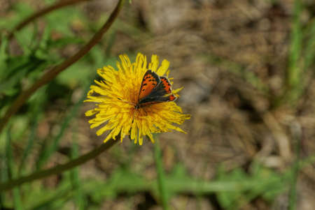 one red butterfly sits on small yellow flower dandelion in nature